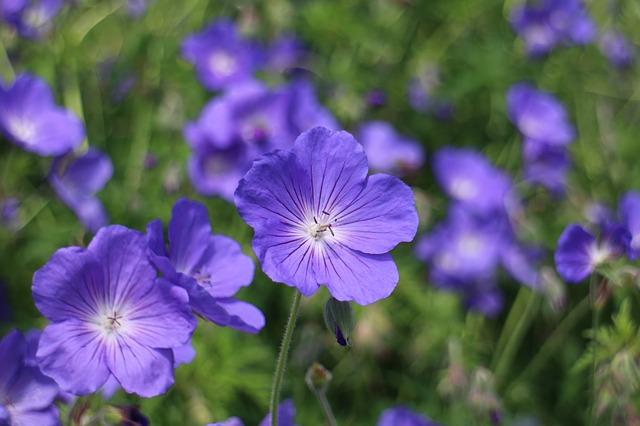 geranium-vivace